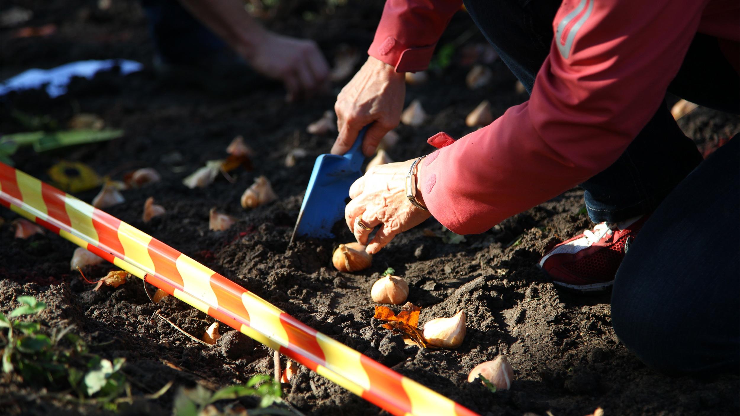 Taideteokseen osallistuminen Kauniaisissa: asukas istuttaa väliaikaisen puiston tulppaaneja